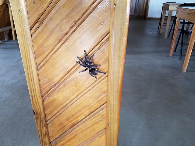 Click image for larger version.  Name:Tarantula at the Utila airport.jpg Views:16 Size:233.2 KB ID:51889